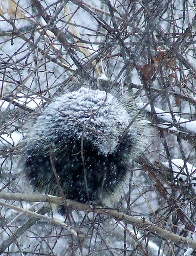 porcupine in a blizzard