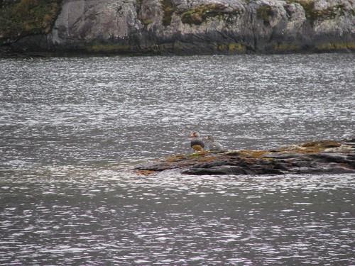steamer ducks patagonia