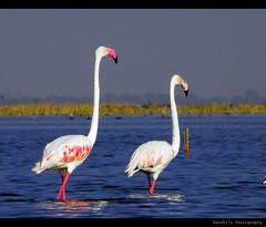 You and I in this beautiful world... (D a r s h i) Tags: two birds flamingoes couple pair ahmedabad nalsarovar darshi darshita olympussp565uz