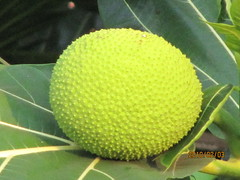 india tree fruits fruit goa breadfruit candolim artocarpus highlandbeachresort artocarpusaltilis highlandbeachhotel