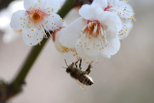 大阪城の梅と蜜蜂