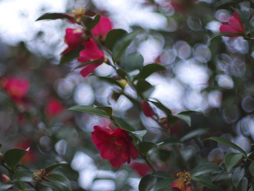 camellia in boisterous bokeh