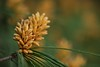 hint (helen sotiriadis) Tags: brown green pine canon spring published dof bokeh depthoffield canonef100mmf28macrousm canoneos40d toomanytribbles updatecollection