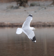 Millarochy Common Gull (Jacqui Herrington:) Tags: bird nature scotland wildlife gull lochlomond laruscanus millarochybay