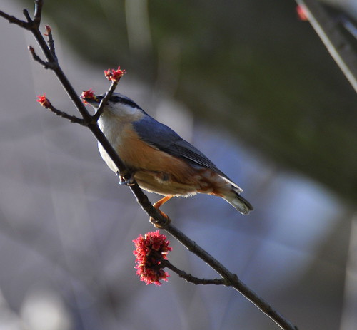 Kleiber sucht Material für den Nestbau