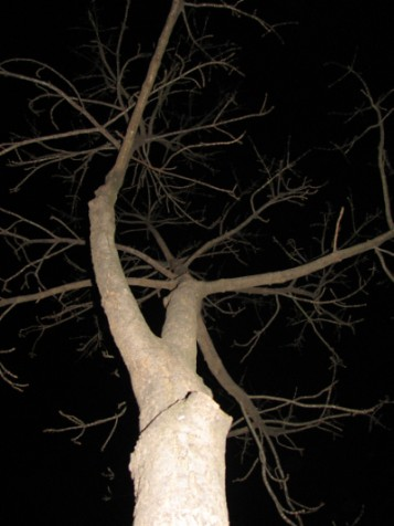 Branches of a Belfast tree in the dark