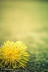 ~ mellow yellow. [Explore!] (CarolynsHope) Tags: light sun flower color yellow composition concrete happy petals spring weed nikon colorful d70 bright space sunny minimal dandelion patio negativespace mellowyellow simplicity minimalism simple 105mm