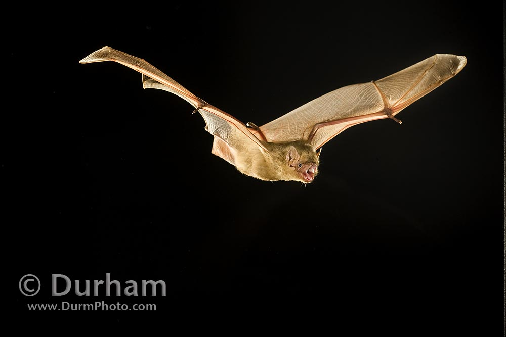 northern yellow bat