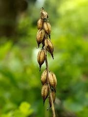 Puttyroot Orchid Pods 137 (Walter Ezell) Tags: southcarolina zd ravenclifffalls aplectrumhyemale 50mmmacro20 puttyrootorchid olumpuse5