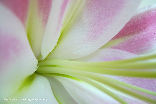 flower(lily)