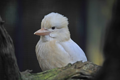 featherdale14.jpg (picsie14) Tags: white bird animals interestingness interesting wildlife sydney beak australia nsw albino featherdale birdwatching kookaburra 80400mm australiananimals interestingness2 longlens birdsofaustralia d700 nikond700
