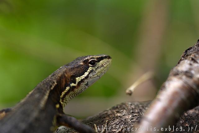 ニホンカナヘビ [Takydromus tachydromoides]