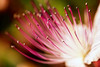Caper flower again... (Theophilos) Tags: flower nature crete caper rethymno λουλούδι κρήτη φύση ρέθυμνο κάπαρη