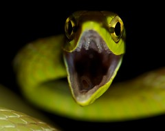 Green vine snake (Oxybelis brevirostris) (7) (pbertner) Tags: macro green toxic gold eyes rainforest purple reptile snake teeth selva reserve adventure rows culebra jungle tropical serpent makro biology ular mache sacha hutan schlange reserva entomology dschungel reptil biologie macrophotography lowland macrography serpiente jatun reptilia biologa macrofotografa biologi macrophotographie macroextreme bilsa  makrofotografie  macrographie macrografa macrolife makrografie     chindul  machechindul