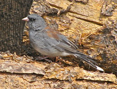 Pretty grey headed dark eyed Junco at the Holzwarth Historic site (larken81) Tags: mountains water birds animals landscapes scenery nationalparks rockymountainnationalpark