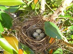 Baby Cardinal Eggs