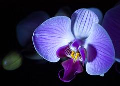 BlueLuminance (Pettygroves) Tags: orchid flower jillian blueled excellentsflowers natureselegantshots exquisiteflowers