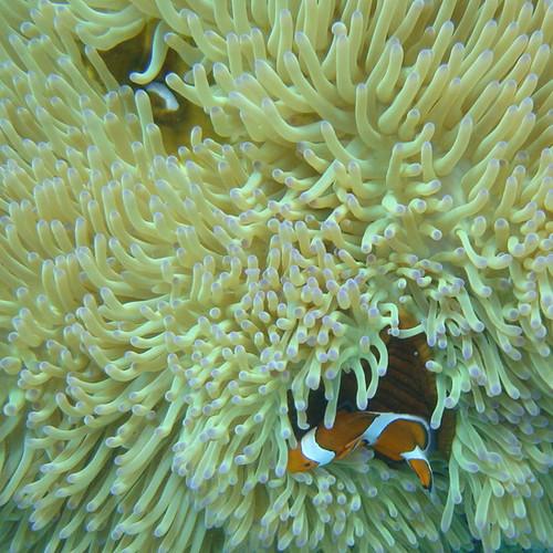 Okinawa anemone fish