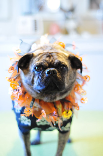 pug couture