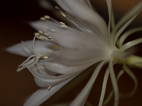 Epiphyllum?