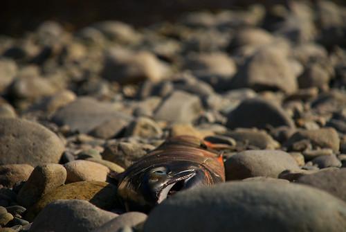 鮭の死骸 / dead salmon