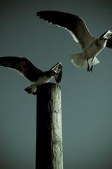 Get off my post, bitch! (GiggleManiac) Tags: birds flying post bite cedarkey tailfeathers