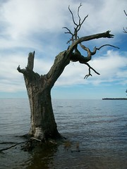 Soundside oak (Chris - Topher) Tags: park tree water dead bay woods nagshead shore sound outerbanks obx