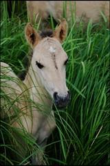 018 (Bargais) Tags: wild horse latvia latvija jelgava zirgi pilssala savvaļa