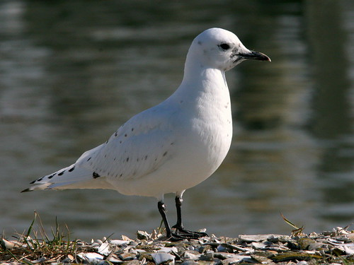 Ivory Gull Portrait 20091208