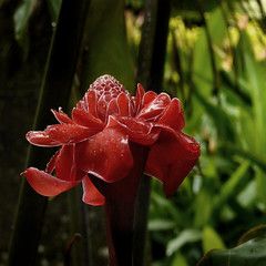 The wild Red Torch Ginger (Bn) Tags: topf50 rainforest sensual wildflower redflower tms wildginger waxflower torchlily torchginger southernlaos tellmeastory tooprettytoeat 50faves rosedeporcelaine bolavenplateau gingerfamily exoticredflower bocadedragn philippinewaxflower redgingerlily bungakantan salavanprovince porcelainrose bastndelemperador porcelainflowers combrang zingerberaceae bungasiantan xiangbaojiaing indonesiantallginger wildjungle addedinsaladsandfisgcurries popularintropicalgardens thewildredtorchginger aromaticgingerflower laodishes saladsservedwithgingerflowers flavouranessentialingredientinsomelaodishes beautifulbigwaxflower brilliantlyhuedsparklinginflorescence tropicalrainforestsofthesoutheastasia vibrantscarletandred rodetoortsbloem