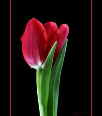 tulip (RASHID ALKUBAISI) Tags: nikon rashid  d90 specialpicture alkubaisi  ralkubaisi