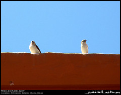 Episode 1: Two Cute Birds on Our Neighbors' Roof in Al Sa'adah, Salalah, Dhofar (Shanfari.net) Tags: mountain mountains bird nature birds lumix al raw natural african indian small birding panasonic munia inornata oman fz jebel jabal salala zufar rw2 salalah subsp passeriformes subspecies sultanate dhofar  whitethroated khareef   silverbill estrildidae  lonchura   dufar  taqah cantans  lonchuracantans   malabarica  governate saadah ashoor euodice lumixaward  dhufar subspecie dofar fz38 fz35 dmcfz35   thofar thufar lonchuracantansinornata