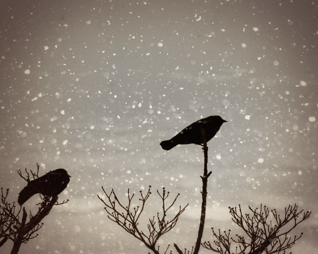 Red-winged blackbirds during snowstorm