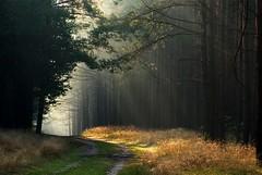 Waiting for Little Red Riding Hood (Olgierd Pstrykotwrca) Tags: morning las trees light forest dawn pentax path poranek rano wiato drzewa wiateko cieka pentaxk10d