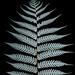Silver Tree fern Cyathea dealbata