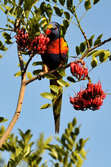 Rainbow Lorikeet #3 - 57 (Vinko Sunde) Tags: blue red wild pet color colour tree green bird yellow fauna colorful pretty native wildlife australian lorikeet tropical colourful inatree rainbowlorikeet intree smallbird