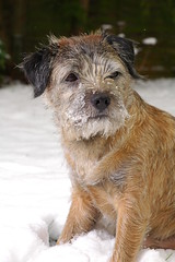 Monty Snow (Cherryrig) Tags: winter dog snow umbrella nikon flash border d70s terrier monty quantum t2 skyport 60mmf28dmicro qflash l358 cherryrig