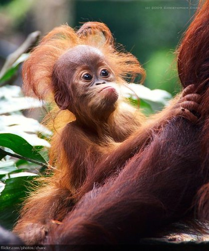 baby orangutan with a halo of orange hair
