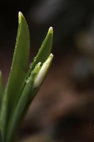 Galanthus elwesii | Groot sneeuwklokje - Giant snowdrop