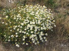 Stinking chamomile (Wayne Weber) Tags: flowers washington weeds wildflowers asteraceae blaine semiahmoospit dogfennel anthemiscotula stinkingchamomile stinkingmayweed