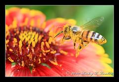 IMG_40254_F (arbil) Tags: insect bugs bee saudiarabia arbil bif tamron90mm dfs dammam beeinflight canoneos400d rickyssantos desertfoxshooters lfpi macro2010