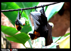 Bats (7abibo) Tags: black green animal big orlando day florida eating small bat down upside kingdome