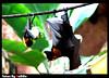 Bats (7abibo) Tags: black green animal big orlando day florida eating small bat down upside kingdome خفاش