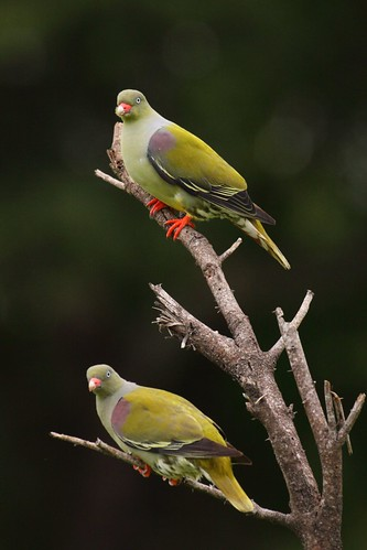 African Green-Pigeon, Treron calvus, Papegaaiduif