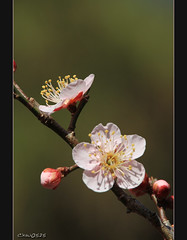 Plum blossoms (Dalang55555) Tags: morning pink flower sunshine frame nocrop plumblossom  noretouch sooc