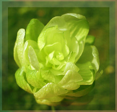Let us open our leaves like a flower (Ashley1954) Tags: summer green beer cheers wildflower hops climbingplant humuluslupulus cannabaceae commonhop natureselegantshots hggt fleursetpaysages usedintheproductionofbeer