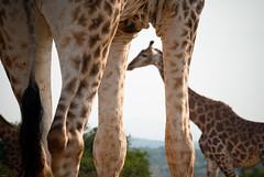 _IGP0923 (orang_asli) Tags: africa nature animals southafrica mammal nationalpark champs fields giraffe imfolozi girafe lieux afrique mammifère aficionados faune bushveld naturel afriquedusud savane parcnational géographie mammifre gžographie