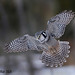 Northern Hawk Owl In-Flight