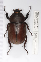 12398獨角仙(母) (esrimed-beetle) Tags: scarabaeidae 獨角仙 金龜子科 allomyrinadichotomatunobosonis