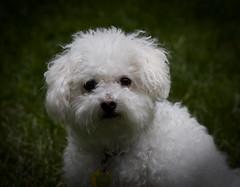 casper bichon mylittleboy whitedog